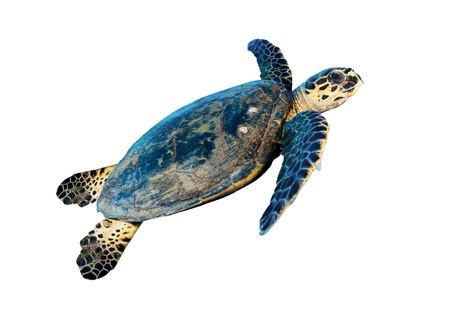 Photo for Hawksbill sea turtle (Eretmochelys imbricata), isolated on white background. - Royalty Free Image