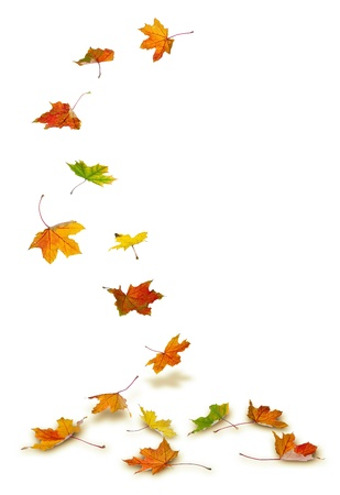 Photo pour Maple autumn leaves falling to the ground, on white background. - image libre de droit