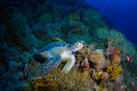 Photo for Turtle on the reef of the Red Sea - Royalty Free Image