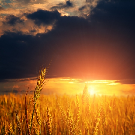 Foto de field with ripe wheat ears and light on sunset sky  - Imagen libre de derechos