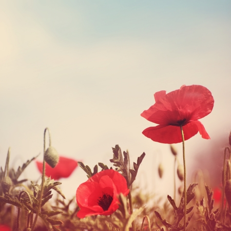 Foto per poppy flowers vintage stylized without paper texture - Immagine Royalty Free