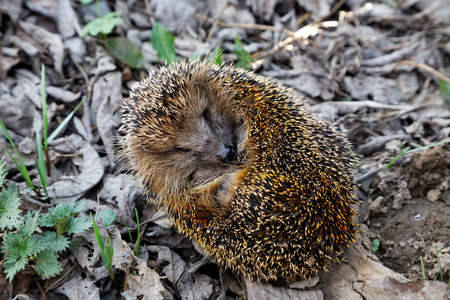 Photo for The hedgehog curled up on fallen leaves - Royalty Free Image