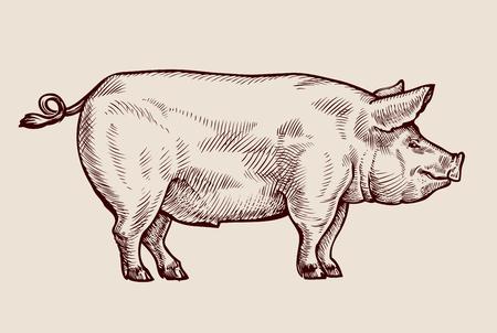 Ilustración de Sketch pig, pork. Hand drawn vector illustration - Imagen libre de derechos