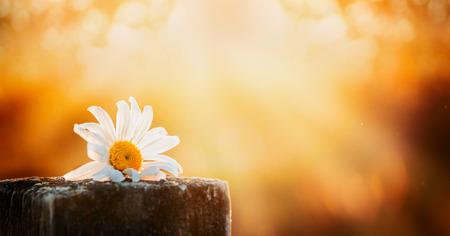 Foto de daisy flower on a wooden table on a natural background sunset sky, banner for website - Imagen libre de derechos