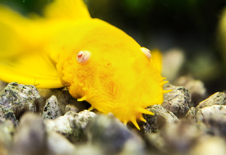 Photo for Golden Ancistrus pleco catfish Male albino Bristle-nose - Royalty Free Image