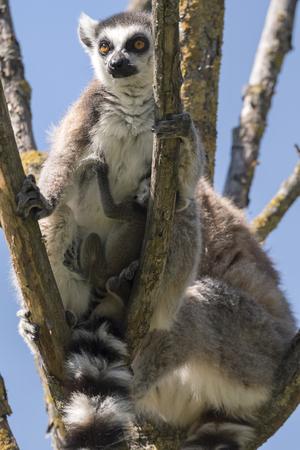 Foto de Lemur pair with puppy hanging from the belly on a tree - Imagen libre de derechos