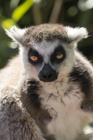 Foto de lemur of madagascar while eating on a tree - Imagen libre de derechos