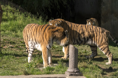 Photo pour two tigers fight in a zoo in italy - image libre de droit