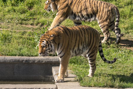 Photo pour tiger resting in a zoo in italy - image libre de droit