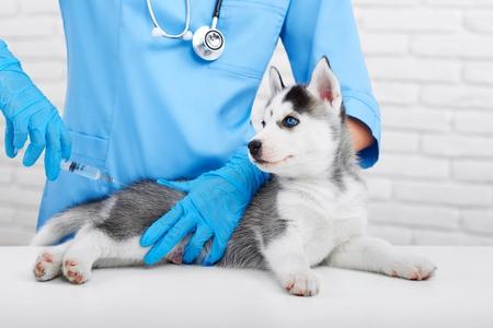 Foto de Professional veterinarian and little husky puppy - Imagen libre de derechos