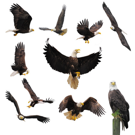 Photo pour Bald eagles isolated on the white background. - image libre de droit