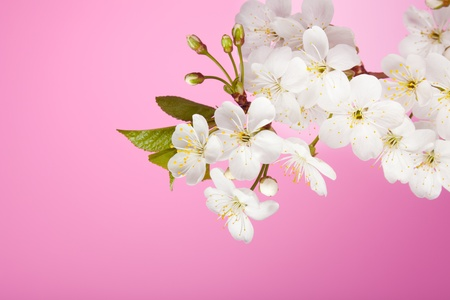 Close-up of cherry tree flowers on pink background