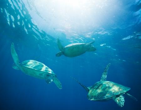 school of sea turtles migrating, swimming