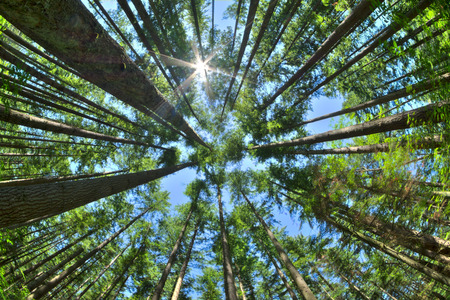 Photo pour Fisheye HDR view looking directly up in dense Canadian pine forest with sun glaring in clear blue sky as trees reach for the sky - image libre de droit