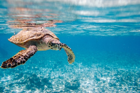 Photo pour Hawksbill sea turtle swimming in Indian ocean in Seychelles - image libre de droit