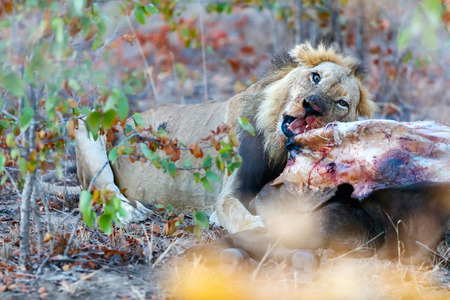 Photo for Male lion eating a buffalo carcass in safari park - Royalty Free Image