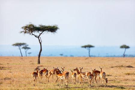 Foto de Group of impala antelopes in Masai Mara safari park in Kenya - Imagen libre de derechos