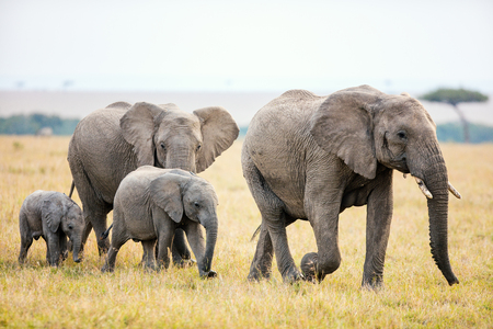 Photo pour Elephants in safari park in Kenya Africa - image libre de droit