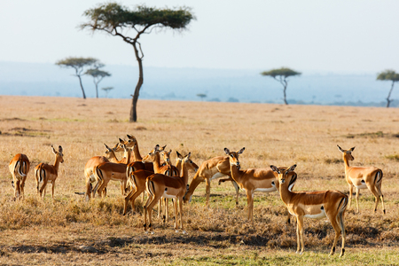 Photo pour Group of impala antelopes in Masai Mara safari park in Kenya - image libre de droit