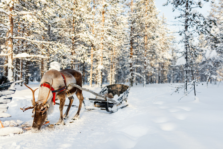 Photo pour Reindeer in a winter forest in Finnish Lapland - image libre de droit
