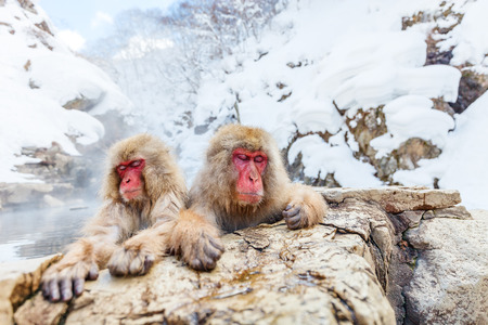 Photo pour Snow Monkeys Japanese Macaques bathe in onsen hot springs of Nagano, Japan - image libre de droit