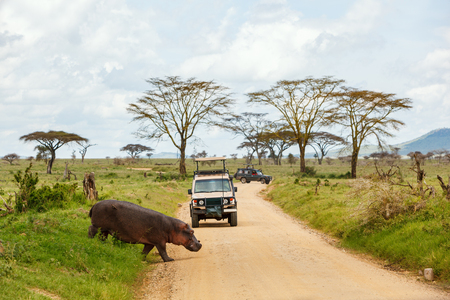Photo pour Safari cars on game drive with hippo crossing road - image libre de droit