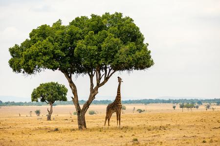 Foto de Giraffe in Masai Mara safari park in Kenya Africa - Imagen libre de derechos