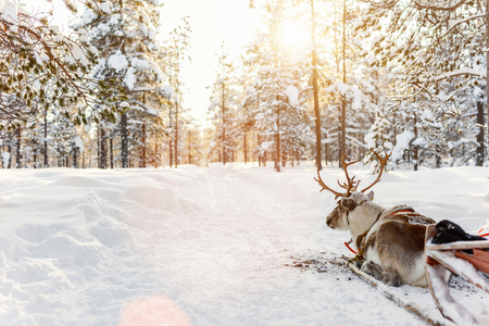 Photo for Reindeer safari in a winter forest in Finnish Lapland - Royalty Free Image