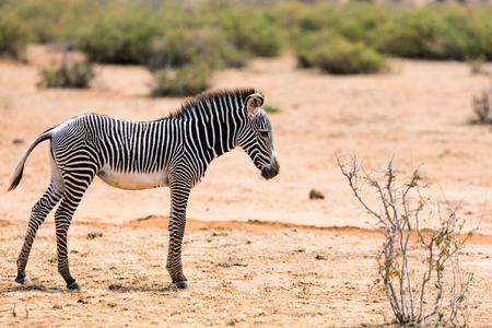 Photo for Grevys baby zebra in Samburu national reserve in Kenya - Royalty Free Image