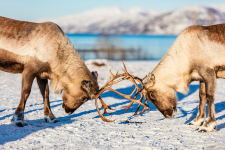 Photo pour Close up reindeer fighting in Northern Norway on sunny winter day - image libre de droit