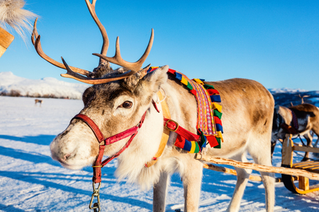 Photo for Close up of reindeer pulling a sledge Northern Norway on sunny winter day - Royalty Free Image