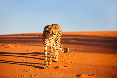 Photo pour Beautiful cheetah outdoor on red sand dune early in the morning at Namib desert - image libre de droit