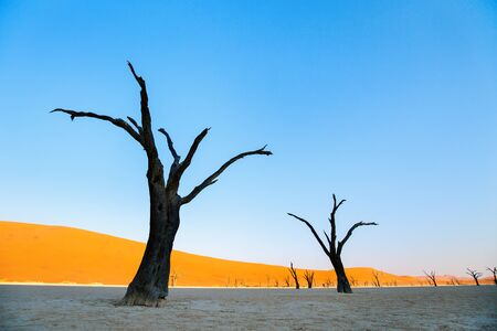 Photo for Dried out camelthorn trees against red dunes and blue sky early in the morning in Deadvlei Namibia - Royalty Free Image