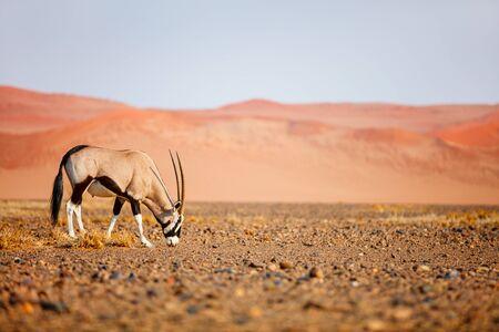 Photo for Oryx antelope walking against red sand dunes of Sossusvlei in Namib desert Namibia - Royalty Free Image