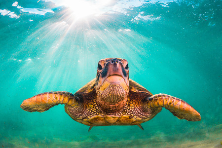 Photo for Hawaiian Green Sea Turtle cruises in the warm waters of the Pacific Ocean in Hawaii - Royalty Free Image