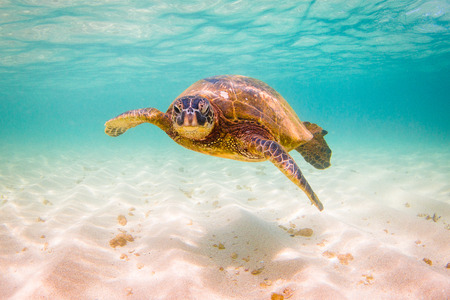 Photo for Hawaiian Green Sea Turtle Cruising in the Warm Waters of the Pacific Ocean in Hawaii - Royalty Free Image
