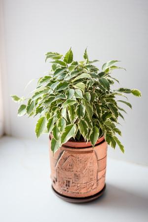 Foto de Ficus benjamina kinky in a pot over white background - Imagen libre de derechos