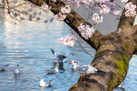 Foto de Close-up Black-headed gull birds (Chroicocephalus ridibundus) and cherry cherry blossoms full bloom in springtime sunny da y with natural background around Ueno park lake at Tokyo, Japan. - Imagen libre de derechos