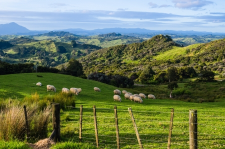 Photo pour Sheep eating grass on the mountains of the north island of New Zealand - image libre de droit