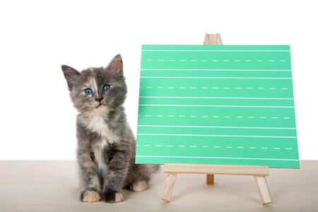 Adorable diluted tortie kitten sitting attentively on a wood floor next to a green writing chalk board, blank for your message. Isolated on white background.