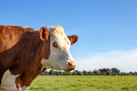 Foto de Side profile of a brown and white hereford steer in a farm field in springtime - Imagen libre de derechos