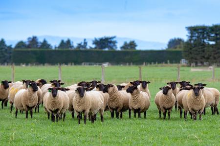 Foto de A flock of pregnant suffolk ewes, with black faces, in a grassy field in New Zealand - Imagen libre de derechos