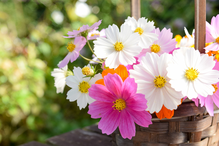 Photo for cosmos flowers in basket - Royalty Free Image