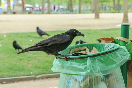 Foto de A Picture of a flock of crows eating garbage from a trash bin and doing mess in the public park. - Imagen libre de derechos
