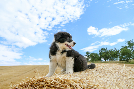 Photo pour A cute puppy is sitting on the hay bale and smiling - image libre de droit