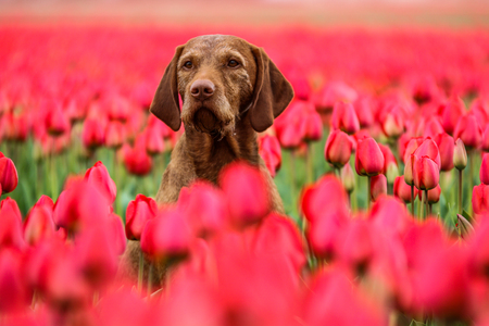 Photo pour A picture from the amazing tulip fields in Netherlands during the cloudy, rainy spring day. The colorful flowers are everywhere.  The dog is sitting in the field and enjoying the view. - image libre de droit