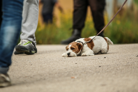 A picture of a Jack Russell Terrier on a lead. He is quite tired.