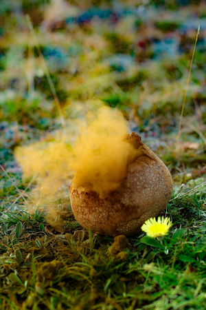 Photo for Disemination of pufball mushroom spores through an explosion - Royalty Free Image
