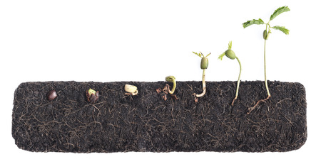 Photo pour Growing plants,Bean seed germination different stages with underground root visible - image libre de droit