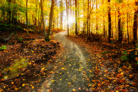 Photo for Sun shining through the trees on a path in a golden forest landscape setting during the autumn season. - Royalty Free Image